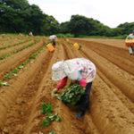 安納芋栽培風景1